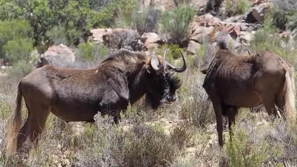 Black Wildebeest standing