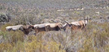 Eland grazing in the field in a protected nature reserve in sout