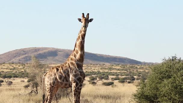 Zblízka pohled žirafa