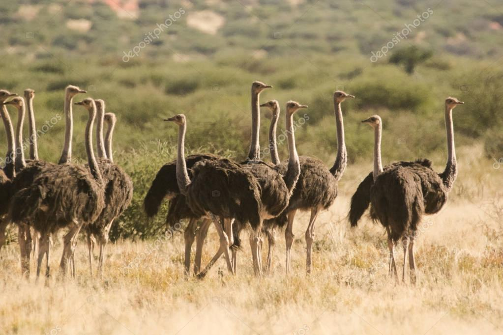 Group of female Ostriches