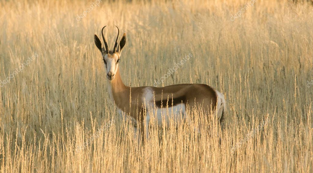 Adult Springbuck ram