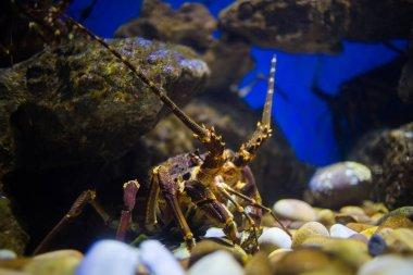 rock lobster in an aquarium