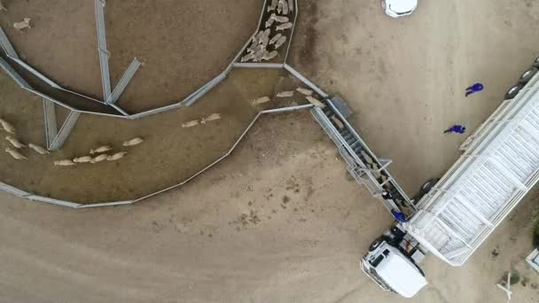 aerial view of sheep run from car on farm field outdoor