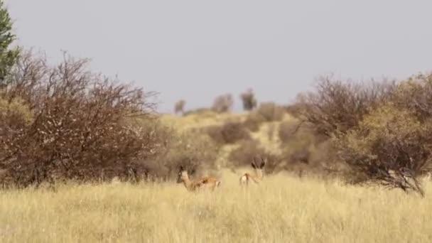 Detail z divokých antilop v oblasti kalahari v Jižní Africe