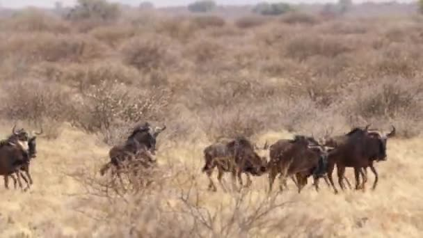 Close-up of wild bulls in the kalahari region of south africa