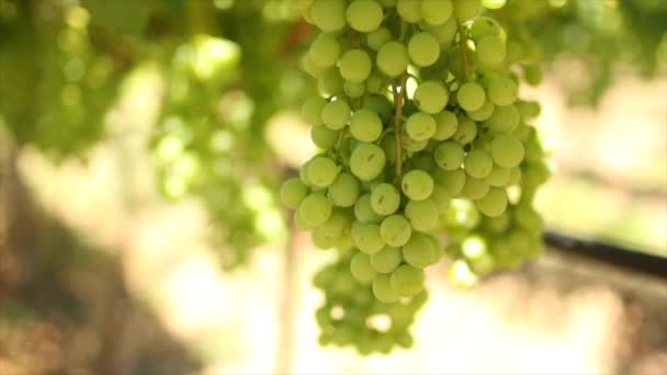 Closeup footage of vineyards at daytime. Grapes in Hexriver valley in South Africa