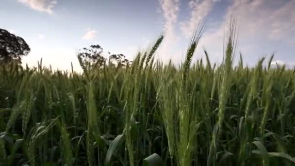 Wide-angle footage of green wheat field blowing in wind in Swartland region in Western cape of South Africa