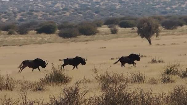 Black wildebeests running on grass plains of Kalahari in South Africa