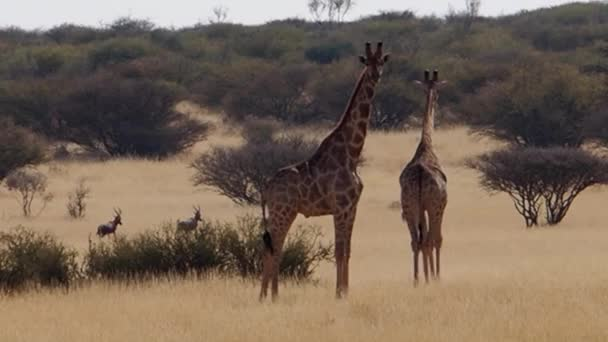 Closeup footage of giraffes on savanna plains of Kalahari in South Africa