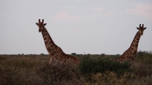 Closeup footage of giraffes on savanna plains of Kalahari in South Africa