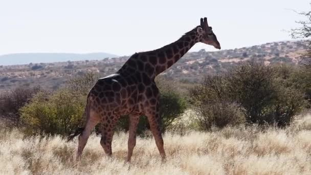 Closeup footage of giraffe on savanna plains of Kalahari in South Africa
