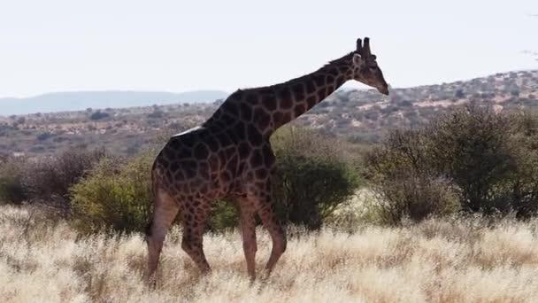 žirafa na jihoafrických pláních / savana