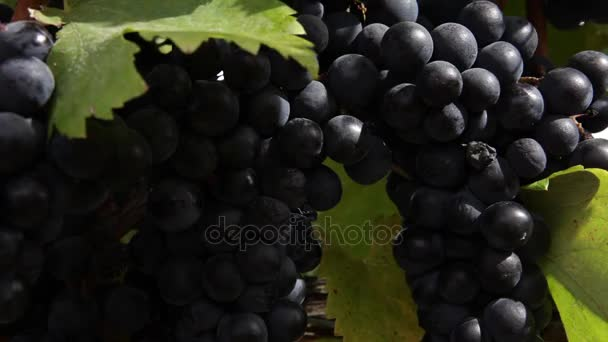 Fresh wine grapes