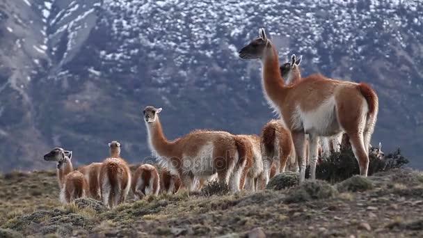 Az Andok-hegység lámák
