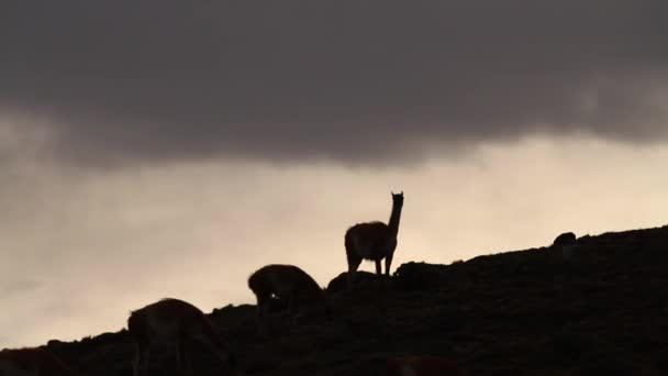 Lamas in the Andes mountains