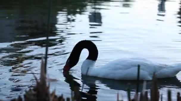 A vízben úszó hattyú