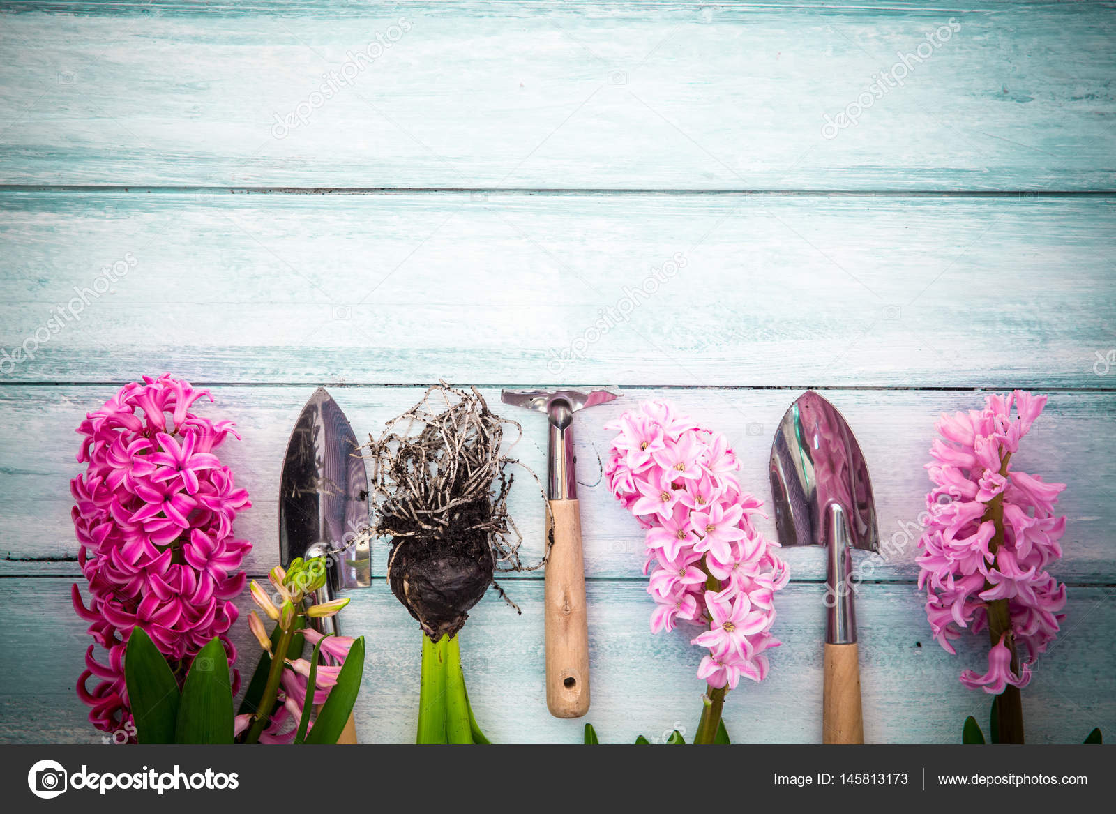 Spring Gardening Background With Hyacinth Flowers Bulbs Tubers