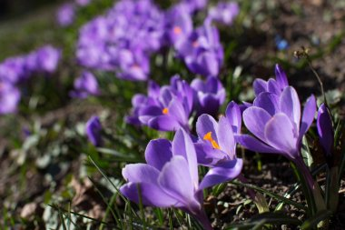 Spring. Blooming violet crocuses flowers.