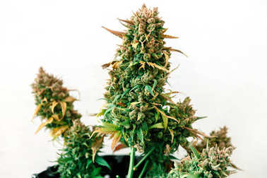 Cannabis plant growing on a pot with late flowers ready to harvest