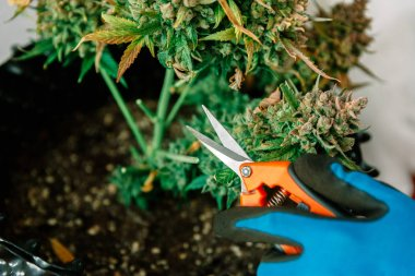 Hands with Scissors Trimming Marijuana Leaf from Cannabis Plant