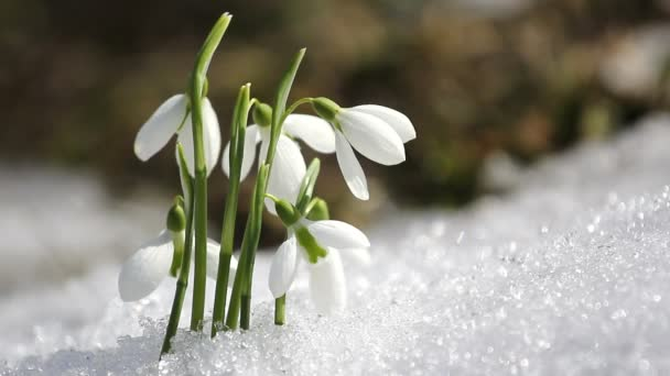 Snowdrops flowers from the snow, ending winter and coming spring