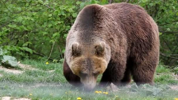 Brown bear grazing grass