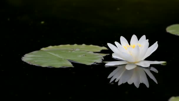 Water lily (Nymphaea) white flower and big green leaf mirrored in water