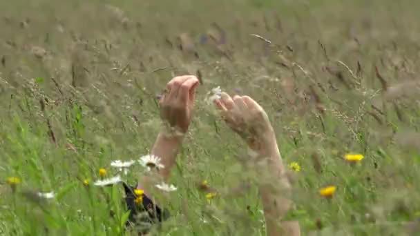 Žena ruce hrát s sedmikráska květ stanovených v trávě 4k