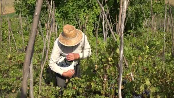 Összegyűjtése ember szedés szőlő szőlő szőlő szezon