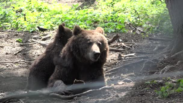 Baby bear sitting on mother bea