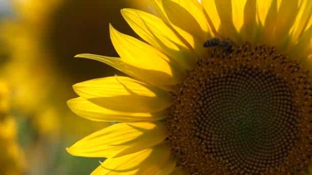 včela na slunečnice