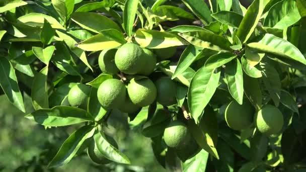 grüne Zitronenfrüchte im Zitrusbaum