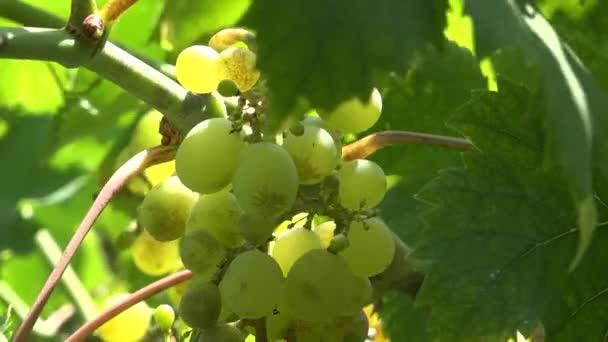 Detail z hroznů ve vinici