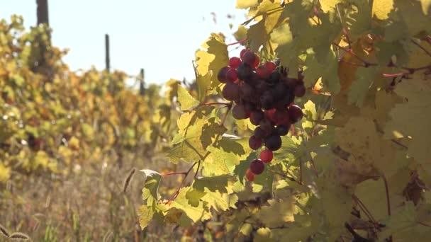 Zaměřit se na čerstvých hroznů ve vinici, podzimní sluníčko