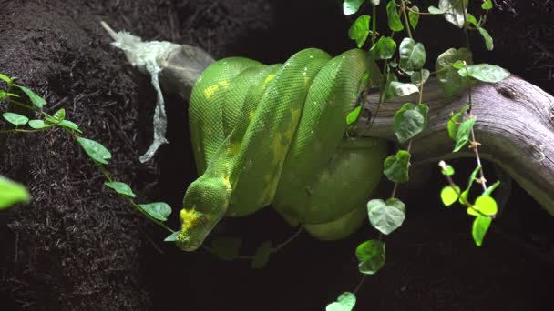 Green snake emerald tree boa python on a branch in the rainforest ready to attack the prey