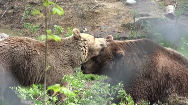 Couple of bears loving each other, caress, kiss, love