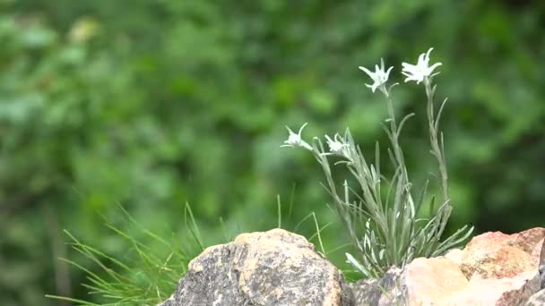 Gentle edelweiss flower grown on cold rocky mountains, green nature