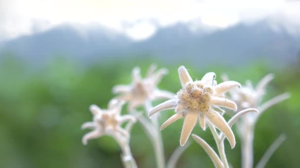 Beautiful edelweiss flowers, green mountains in blur background