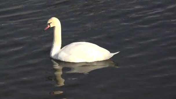 Tükrözi a sötét tó, elegáns lény, egyetlen fehér hattyú