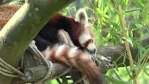 Cute red panda bear (Ailurus fulgens) sleeping in a tree
