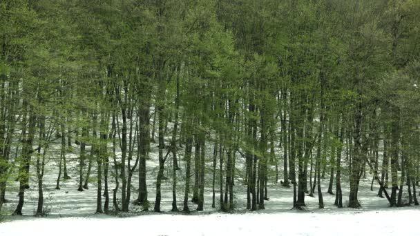 Vzácné přírodní scenérie brzy na jaře zelené stromy a pozdní zimy, sněhu sezóny změnit v lese