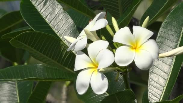 Close-up macro detail of Plumeria tropical flowers blooming on exotic beach