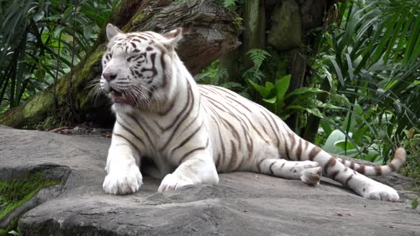 White tiger (Panthera tigris) resting in the jungle