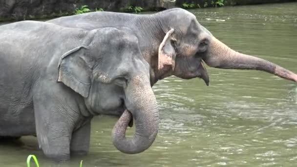die asiatischen Elefanten (elephas maximus) spielen im Wasser