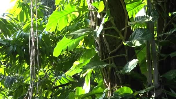 Lianas with big leaves on high trees, lush vegetation in rainforest jungle