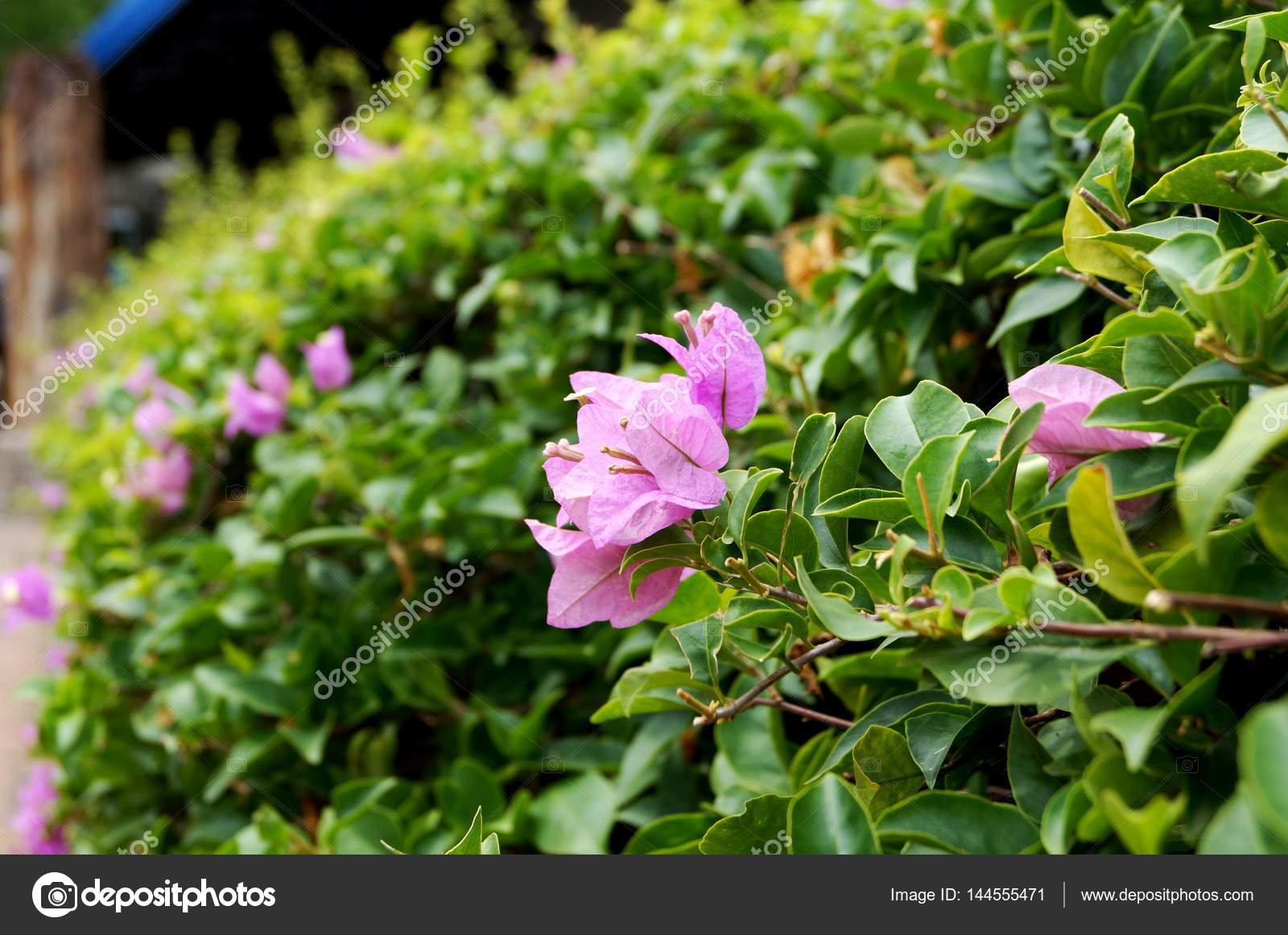 Flowering Shrub With Small Pink Flowers Stock Photo Chydanat