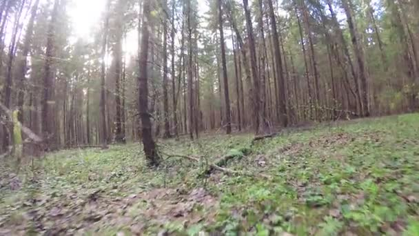 Spring forest with a windbreak