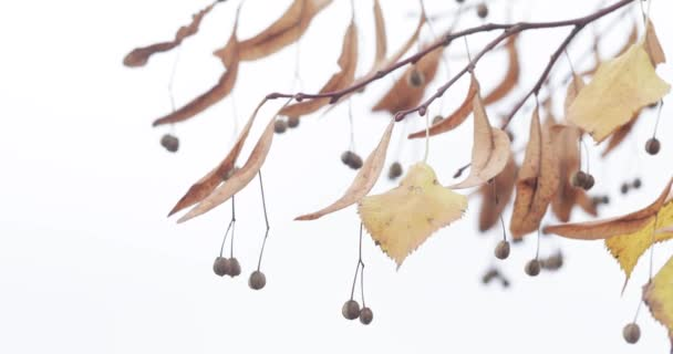 Dry autumn leaves and linden flowers