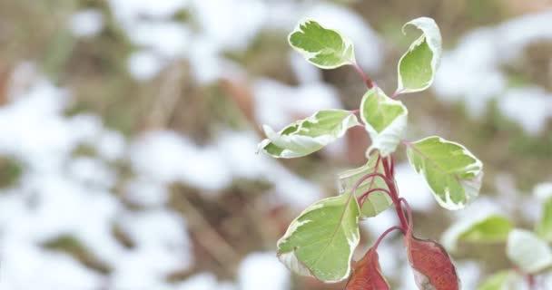 Blätter des Ficus iren barock
