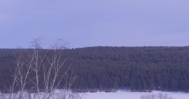 forest in the frost. Winter landscape. Snow covered trees. Birch tree forest covered with snow and rime. Winter view of Russian countryside. Beautiful winter landscape with snow covered trees
